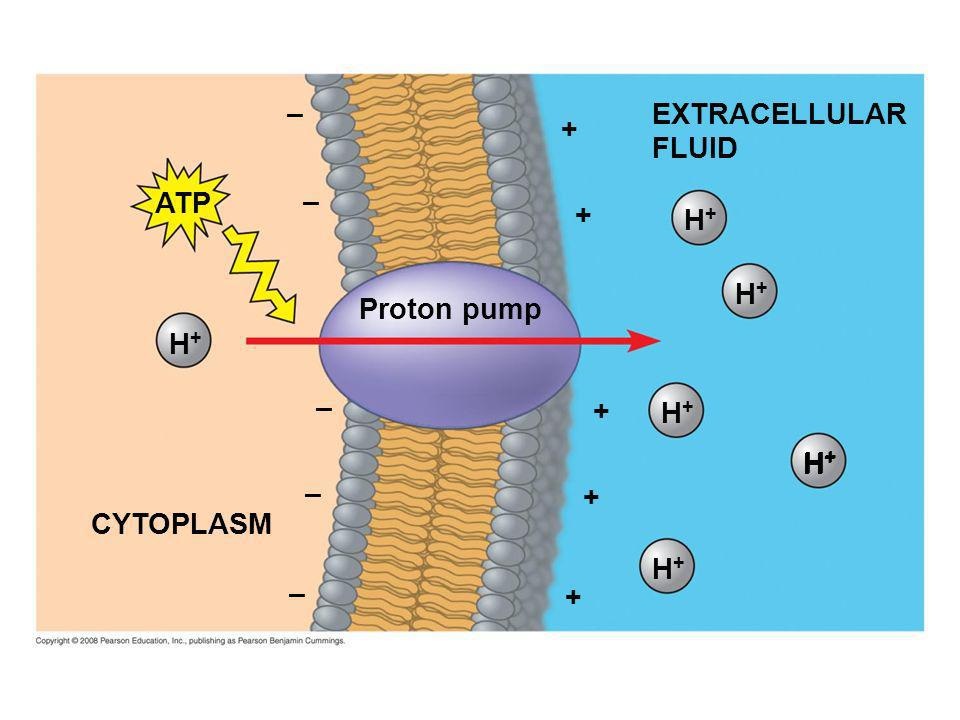 EXTRACELLULAR FLUID H+H+ H+H+ H+H+ H+H+ Proton pump + + + H+H+ H+H+ + + H+H+ – – – – ATP CYTOPLASM –