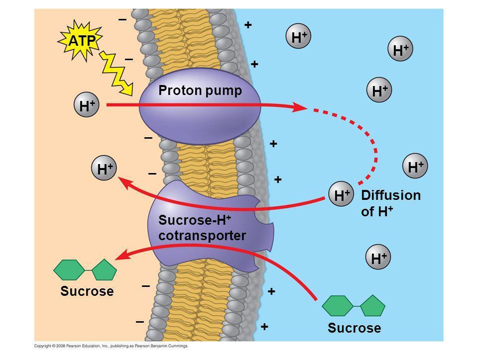 Proton pump – – – – – – + + + + + + ATP H+H+ H+H+ H+H+ H+H+ H+H+ H+H+ H+H+ H+H+ Diffusion of H + Sucrose-H + cotransporter Sucrose