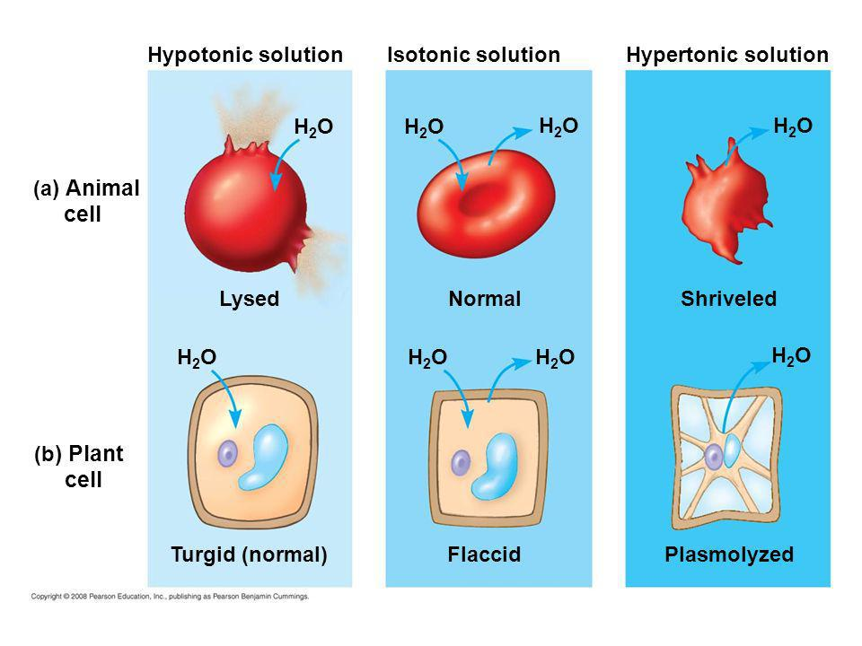 Hypotonic solution (a ) Animal cell (b ) Plant cell H2OH2O Lysed H2OH2O Turgid (normal) H2OH2O H2OH2O H2OH2O H2OH2O Normal Isotonic solution Flaccid H