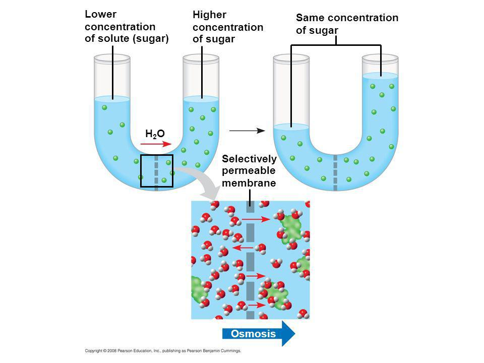Lower concentration of solute (sugar) H2OH2O Higher concentration of sugar Selectively permeable membrane Same concentration of sugar Osmosis