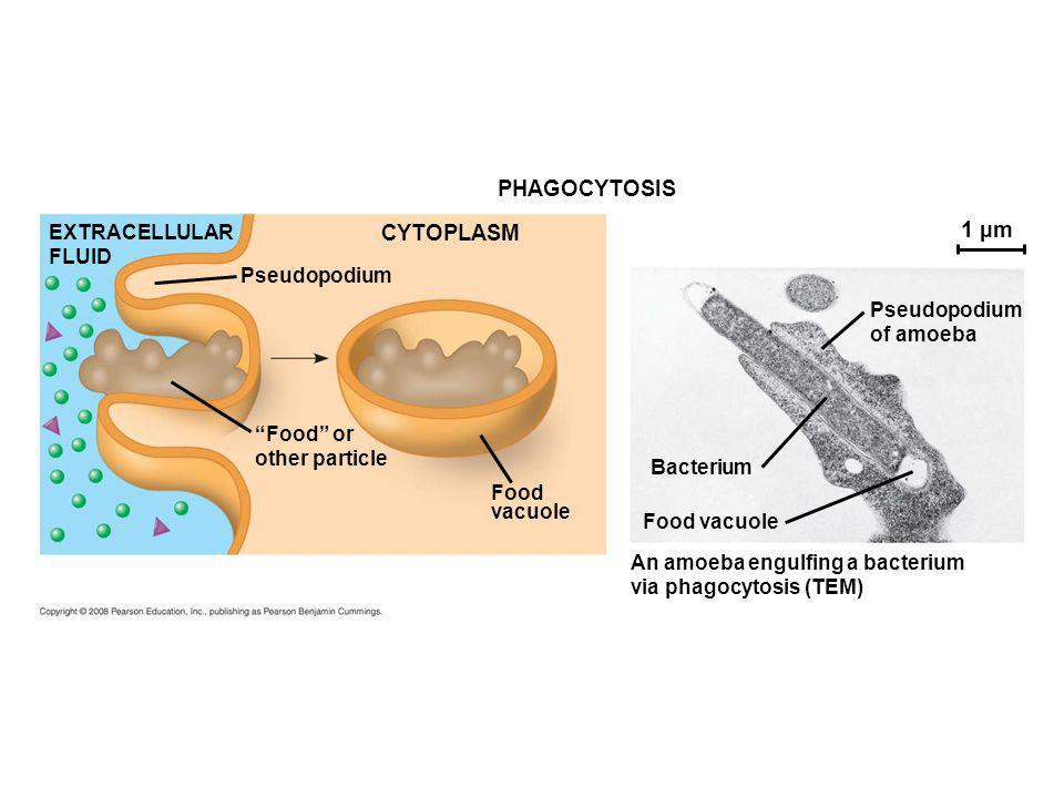 PHAGOCYTOSIS CYTOPLASM EXTRACELLULAR FLUID Pseudopodium Food or other particle Food vacuole Food vacuole Bacterium An amoeba engulfing a bacterium via