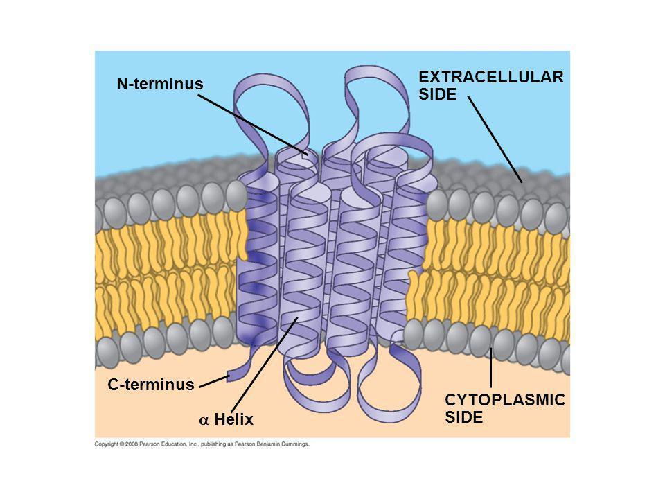 N-terminus C-terminus Helix CYTOPLASMIC SIDE EXTRACELLULAR SIDE