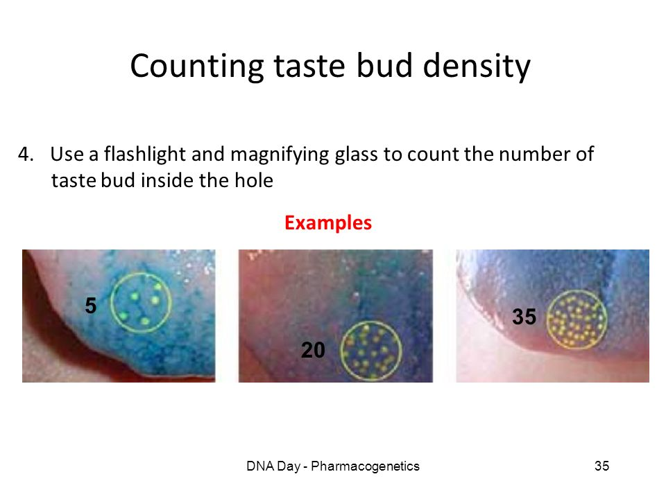 DNA Day - Pharmacogenetics35 Counting taste bud density 4. Use a flashlight and magnifying glass to count the number of taste bud inside the hole Exam