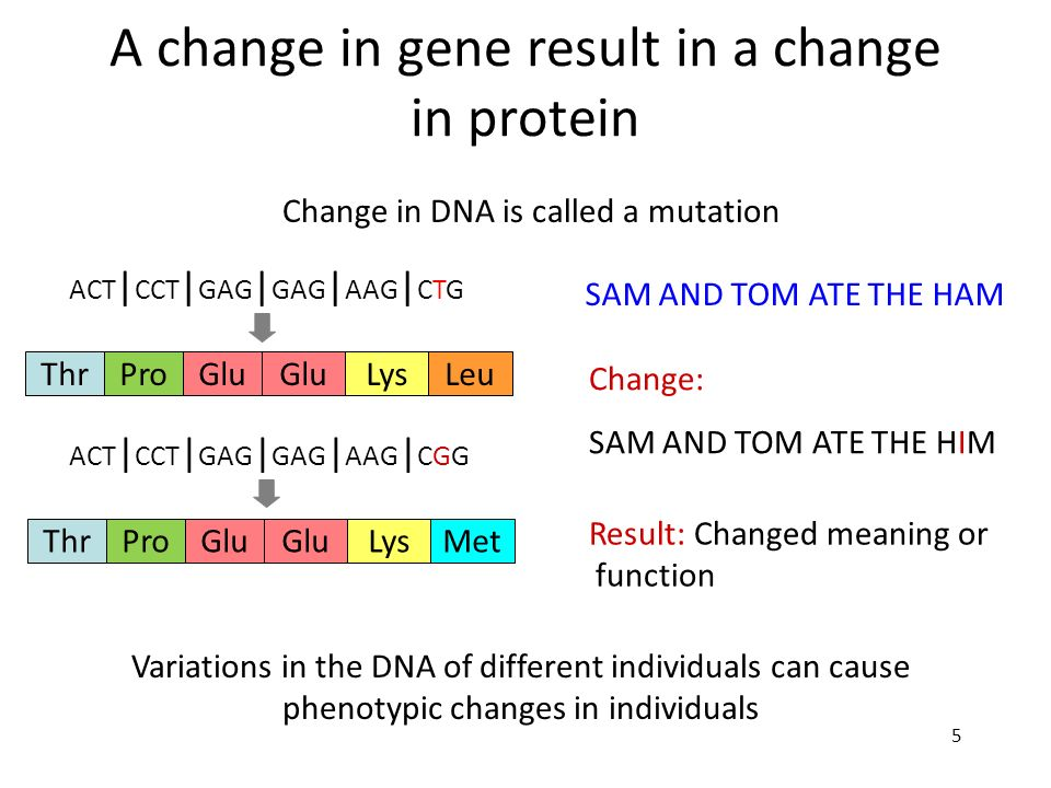 5 A change in gene result in a change in protein SAM AND TOM ATE THE HAM Change: SAM AND TOM ATE THE HIM ThrProGlu LysLeu ACT | CCT | GAG | GAG | AAG
