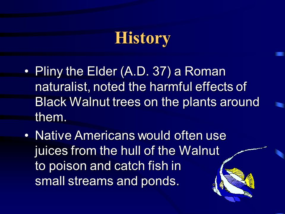 Location Black Walnut trees are found in the Midwest and East in the United States.Black Walnut trees are found in the Midwest and East in the United States.