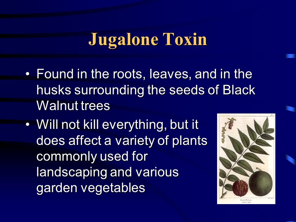 Jugalone Toxin Found in the roots, leaves, and in the husks surrounding the seeds of Black Walnut treesFound in the roots, leaves, and in the husks su