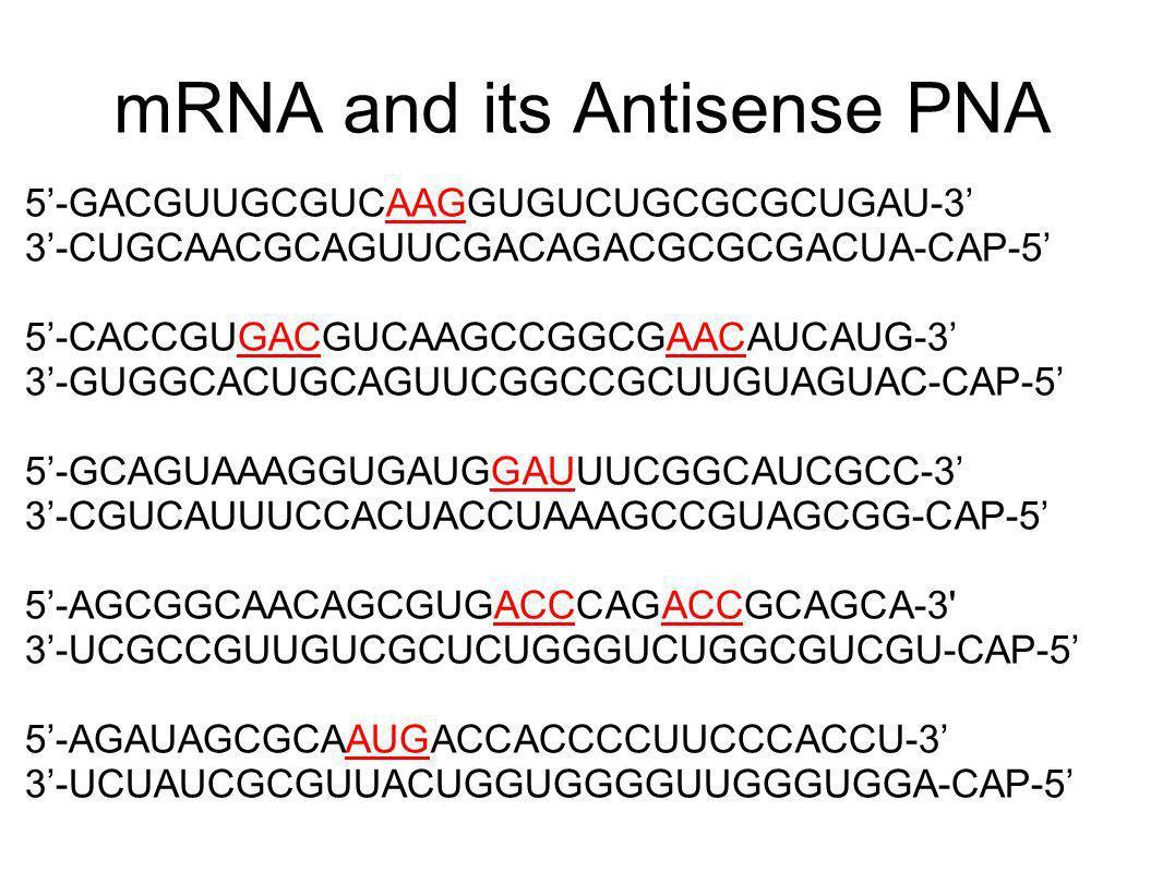 mRNA and its Antisense PNA 5-GACGUUGCGUCAAGGUGUCUGCGCGCUGAU-3 3-CUGCAACGCAGUUCGACAGACGCGCGACUA-CAP-5 5-CACCGUGACGUCAAGCCGGCGAACAUCAUG-3 3-GUGGCACUGCAG