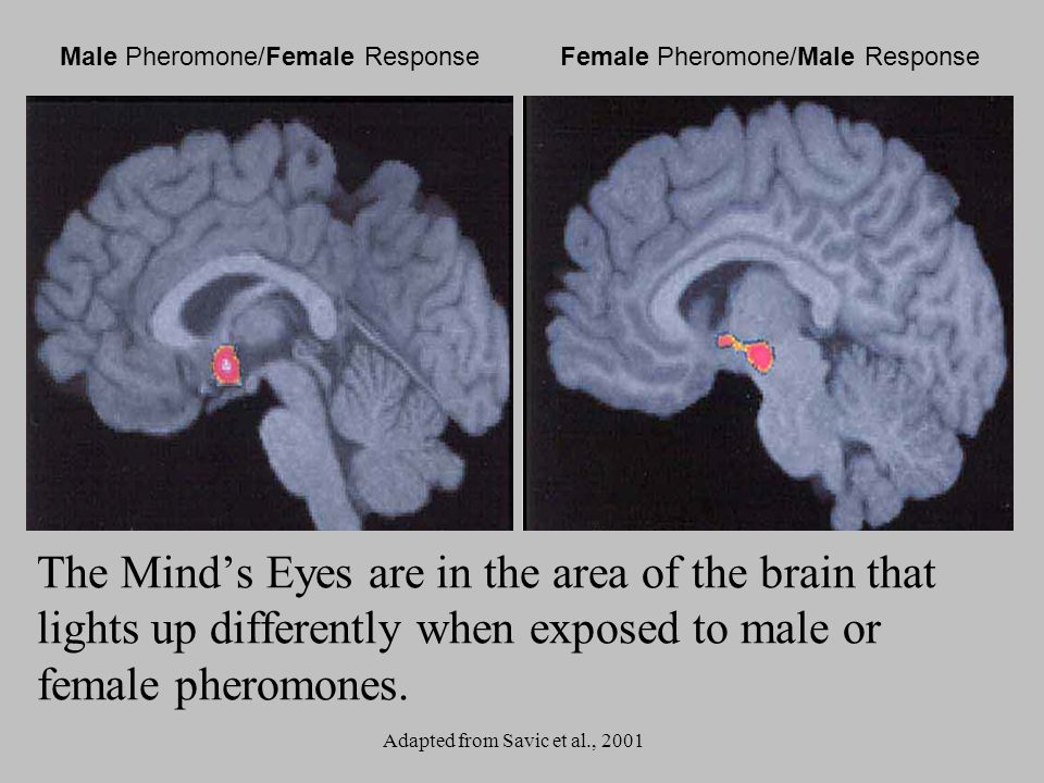 Male Pheromone/Female ResponseFemale Pheromone/Male Response Adapted from Savic et al., 2001 The Minds Eyes are in the area of the brain that lights u