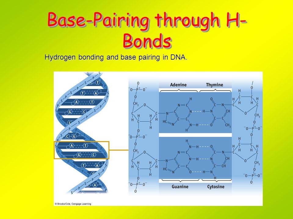 Base-Pairing through H- Bonds Hydrogen bonding and base pairing in DNA.