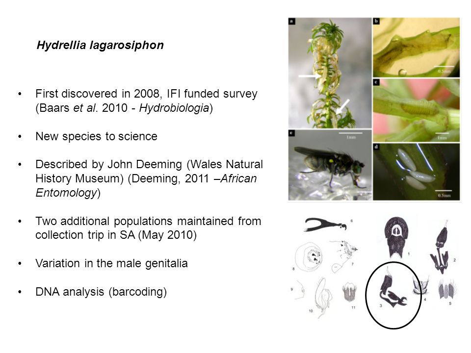 Hydrellia lagarosiphon First discovered in 2008, IFI funded survey (Baars et al. 2010 - Hydrobiologia) New species to science Described by John Deemin