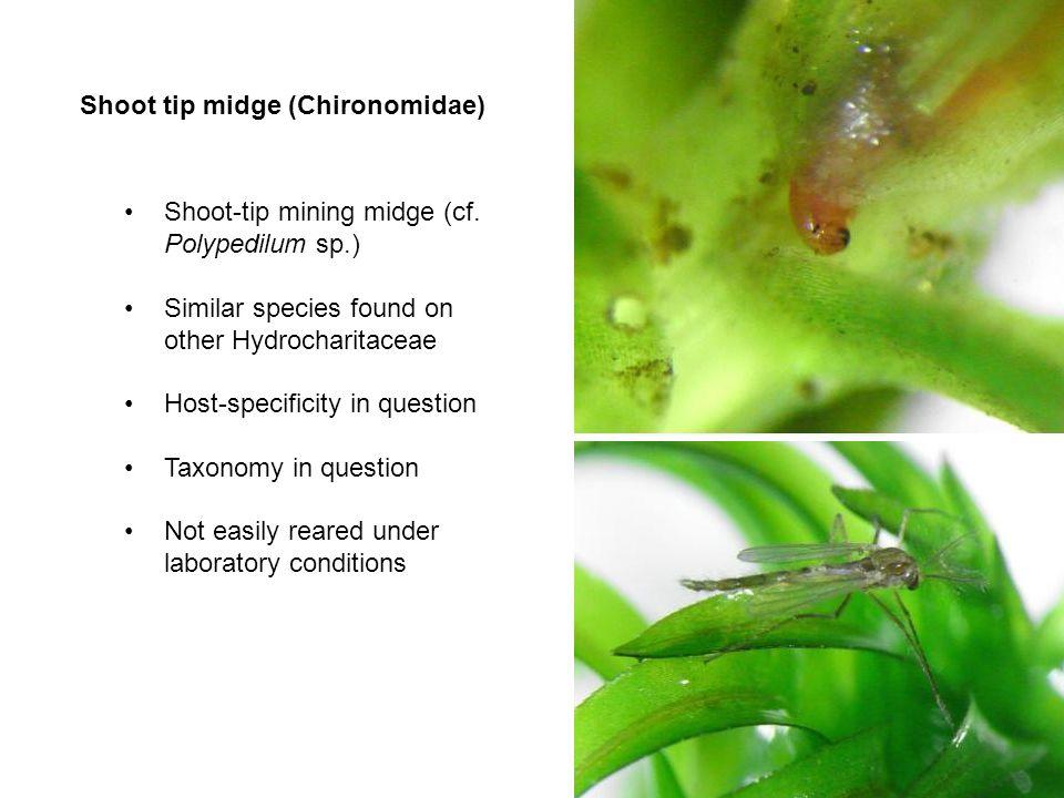 Shoot tip midge (Chironomidae) Shoot-tip mining midge (cf. Polypedilum sp.) Similar species found on other Hydrocharitaceae Host-specificity in questi