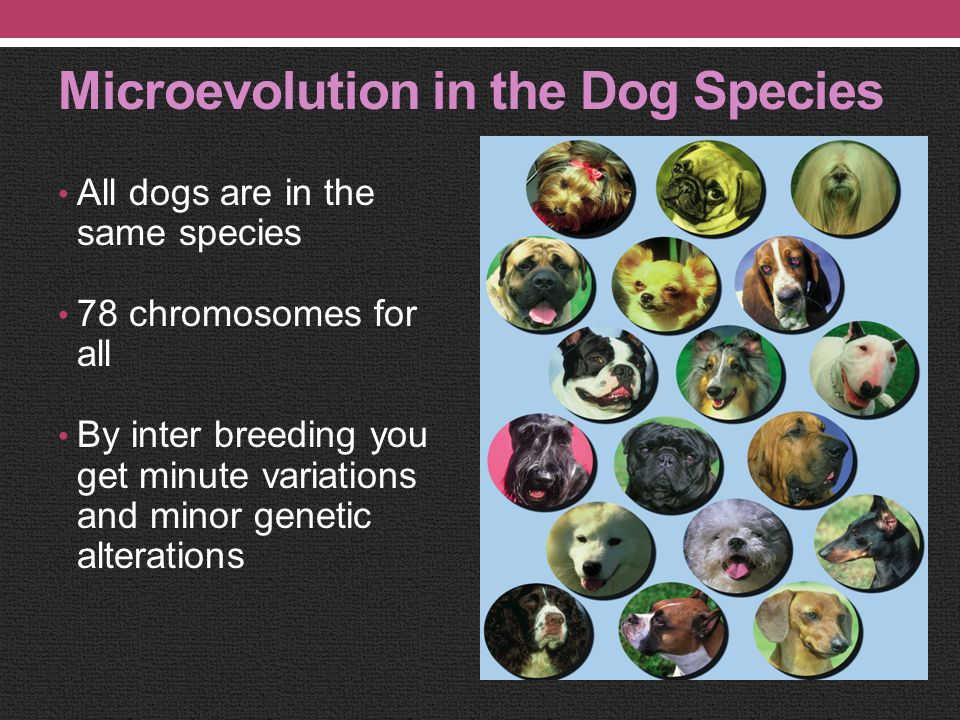 Microevolution vs Macroevolution MICROEVOLUTION: Within one species Identical # of chromosomes Minute variations resulting from interbreeding MACROEVO