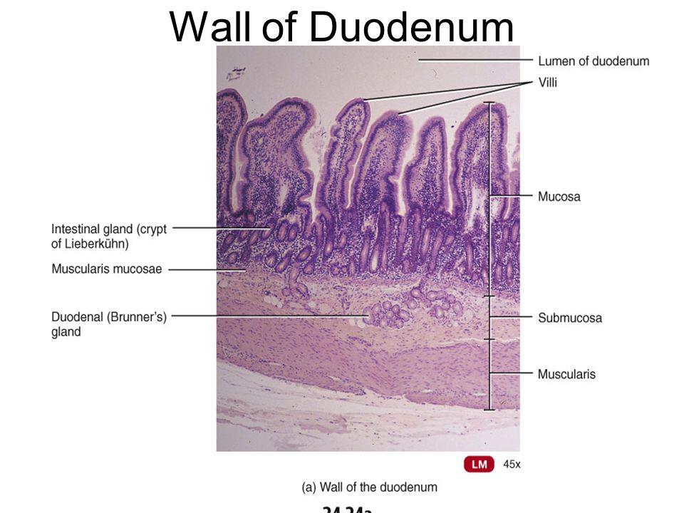 Villi in Duodenum