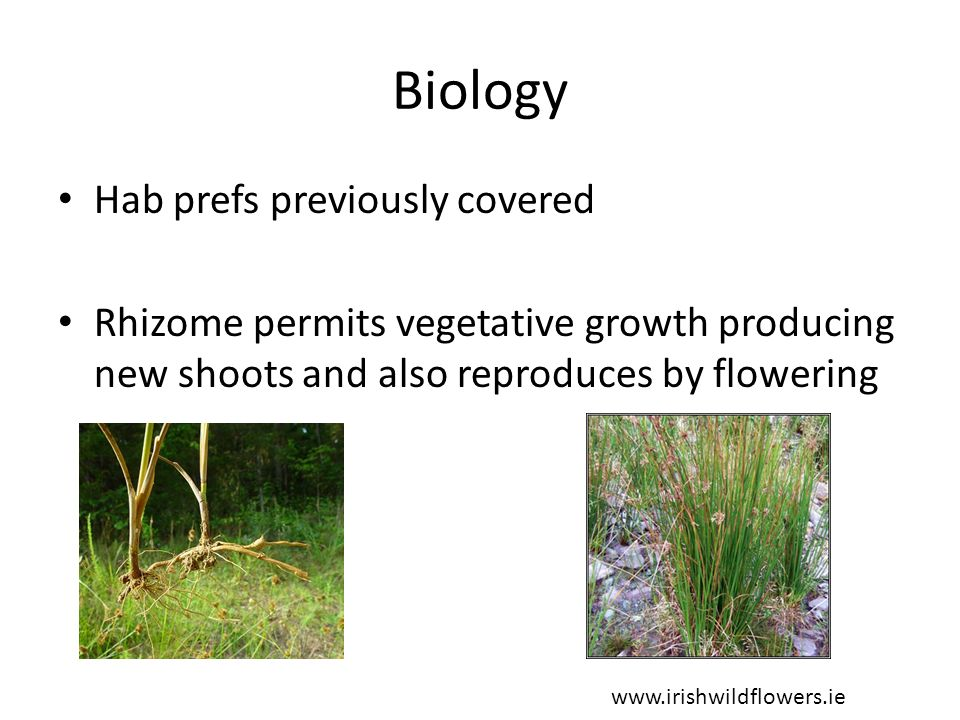 Biology Rhizome grows at about 2cm per year Can send adventitious roots up to 50cm below surface, commonly 20cm Growth of roots and shoots accelerates from March onwards – flowers June/July/August