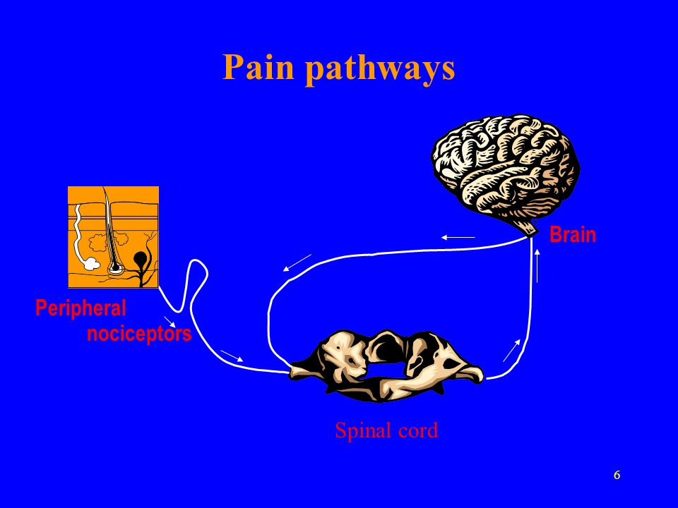 6 Brain Peripheral nociceptors Pain pathways Spinal cord