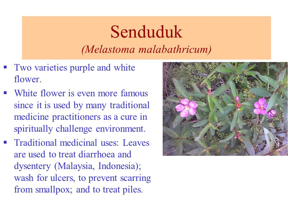 Senduduk (Melastoma malabathricum) Two varieties purple and white flower. White flower is even more famous since it is used by many traditional medici