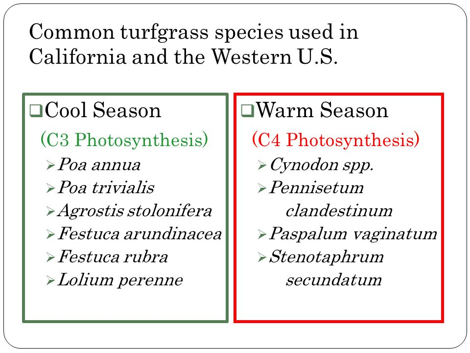 Common turfgrass species used in California and the Western U.S. Cool Season (C3 Photosynthesis) Poa annua Poa trivialis Agrostis stolonifera Festuca
