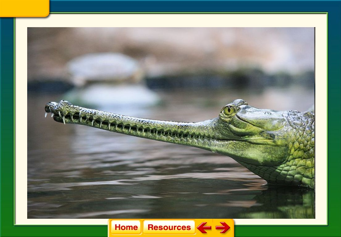 Crocodiles and Alligators 29.1 Reptiles Reptiles and Birds Crocodilians have a four-chambered heart which delivers oxygen more efficiently.