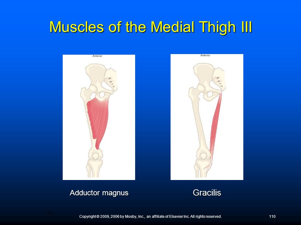Copyright © 2009, 2006 by Mosby, Inc., an affiliate of Elsevier Inc. All rights reserved.110 Adductor magnus Gracilis Muscles of the Medial Thigh III