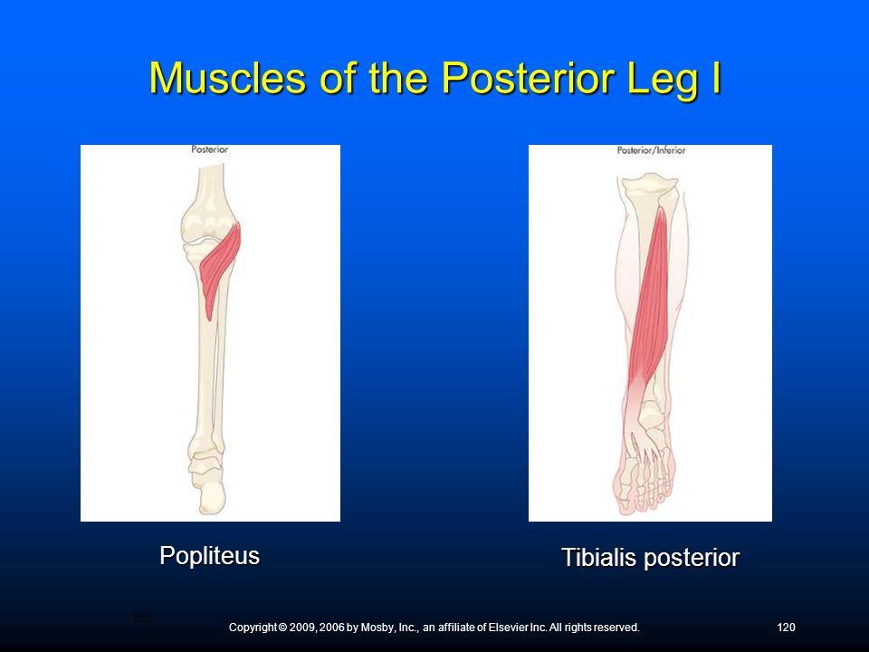 Copyright © 2009, 2006 by Mosby, Inc., an affiliate of Elsevier Inc. All rights reserved.120 Popliteus Tibialis posterior Muscles of the Posterior Leg