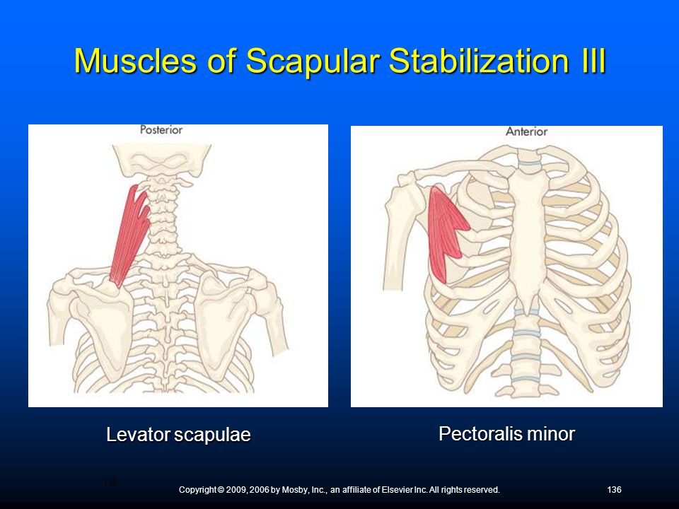 Copyright © 2009, 2006 by Mosby, Inc., an affiliate of Elsevier Inc. All rights reserved.136 Levator scapulae Pectoralis minor Muscles of Scapular Sta