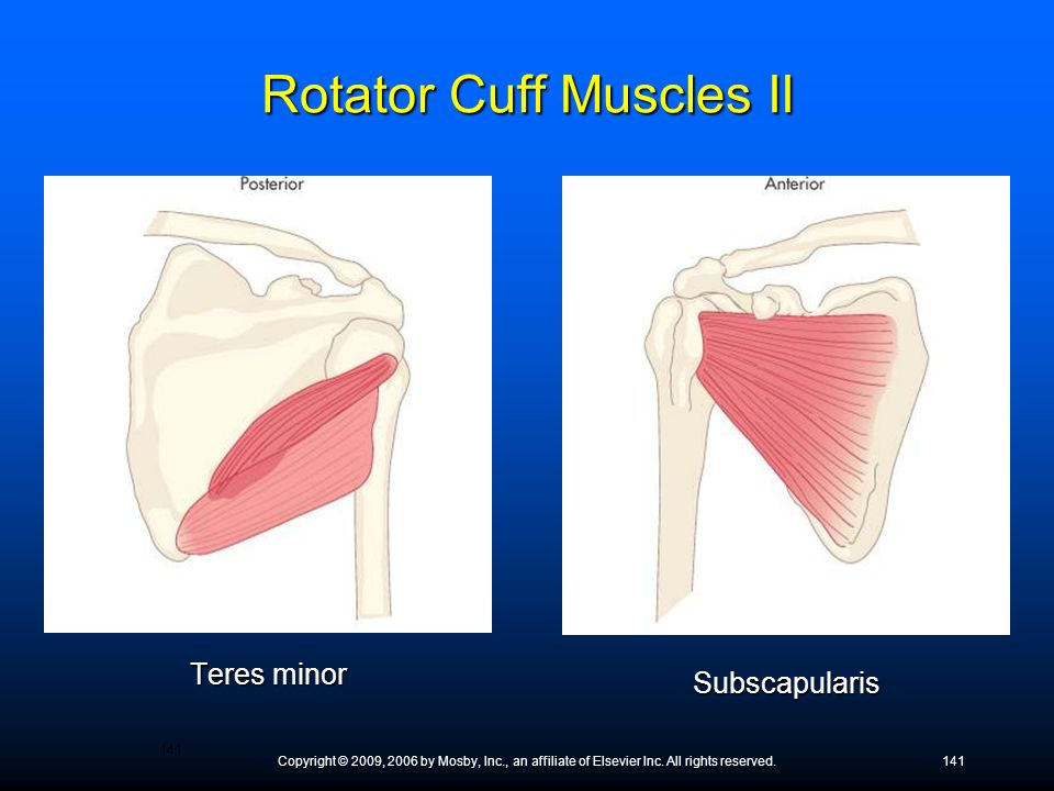 Copyright © 2009, 2006 by Mosby, Inc., an affiliate of Elsevier Inc. All rights reserved.141 Teres minor Subscapularis Rotator Cuff Muscles II