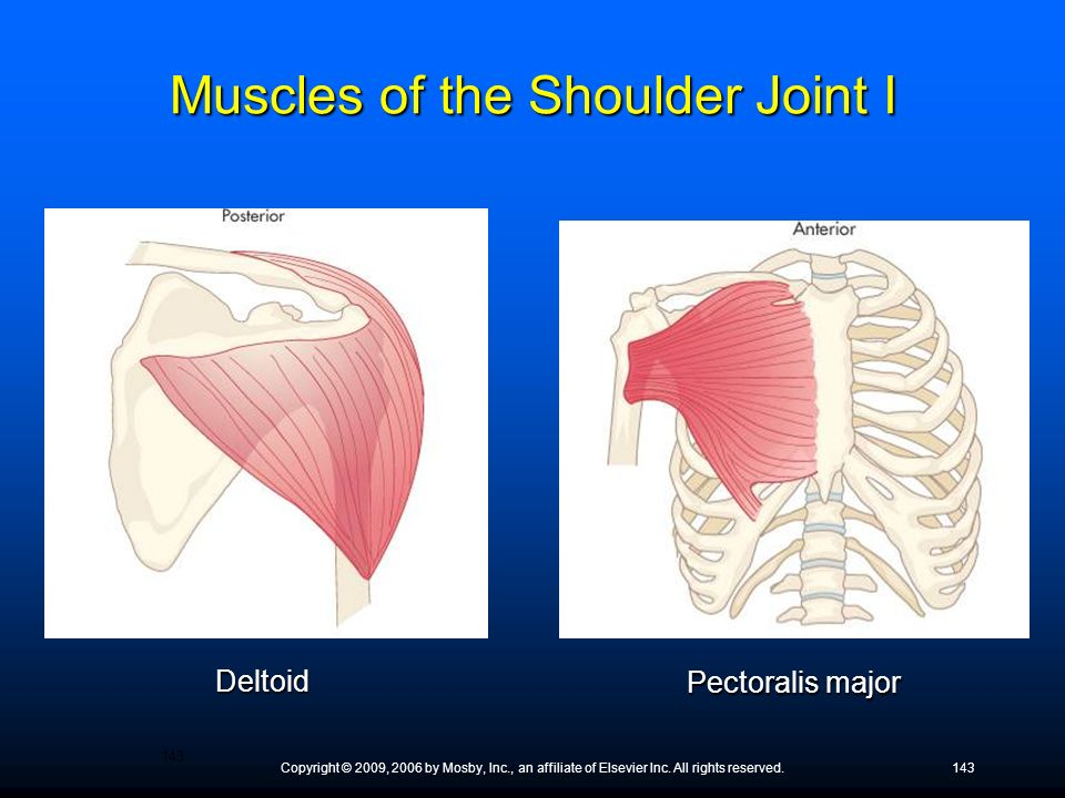 Copyright © 2009, 2006 by Mosby, Inc., an affiliate of Elsevier Inc. All rights reserved.143 Deltoid Pectoralis major Muscles of the Shoulder Joint I