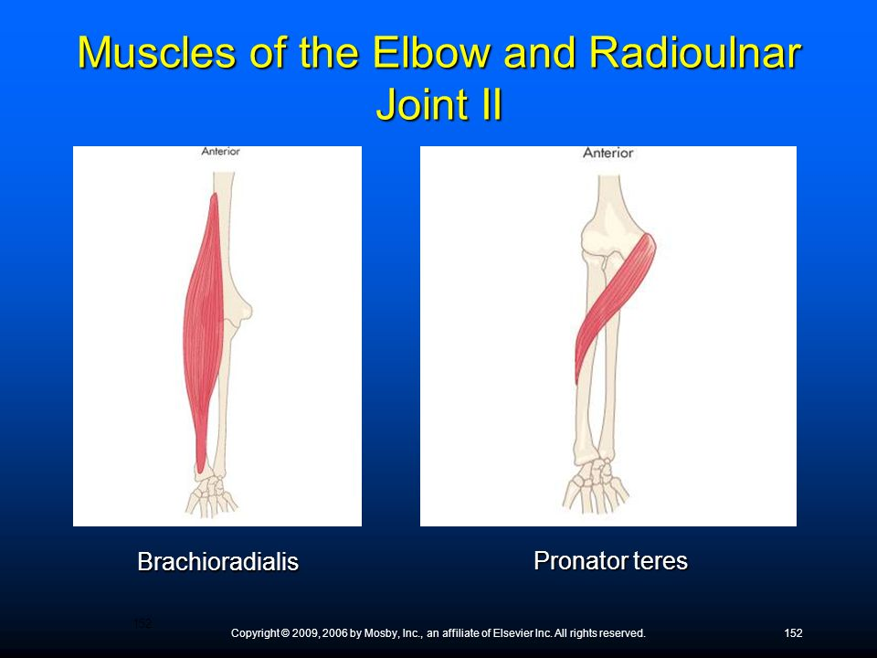 Copyright © 2009, 2006 by Mosby, Inc., an affiliate of Elsevier Inc. All rights reserved.152 Brachioradialis Pronator teres Muscles of the Elbow and R