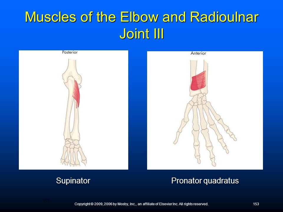 Copyright © 2009, 2006 by Mosby, Inc., an affiliate of Elsevier Inc. All rights reserved.153 Supinator Pronator quadratus Muscles of the Elbow and Rad