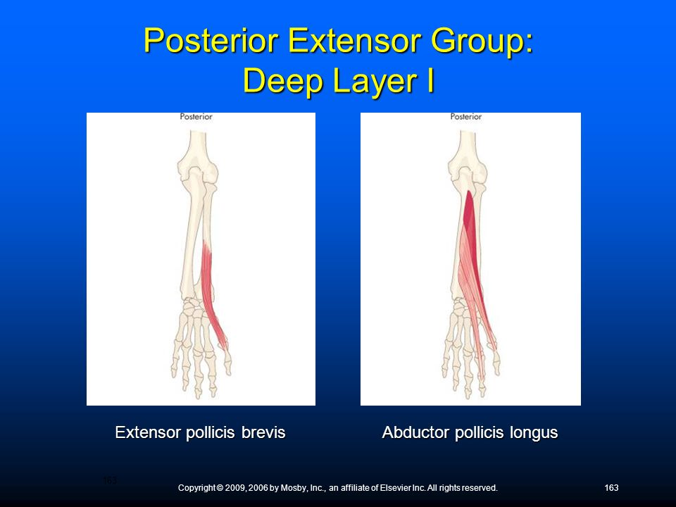 Copyright © 2009, 2006 by Mosby, Inc., an affiliate of Elsevier Inc. All rights reserved.163 Extensor pollicis brevis Abductor pollicis longus Posteri