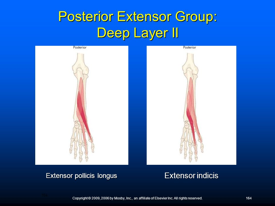 Copyright © 2009, 2006 by Mosby, Inc., an affiliate of Elsevier Inc. All rights reserved.164 Extensor pollicis longus Extensor indicis Posterior Exten