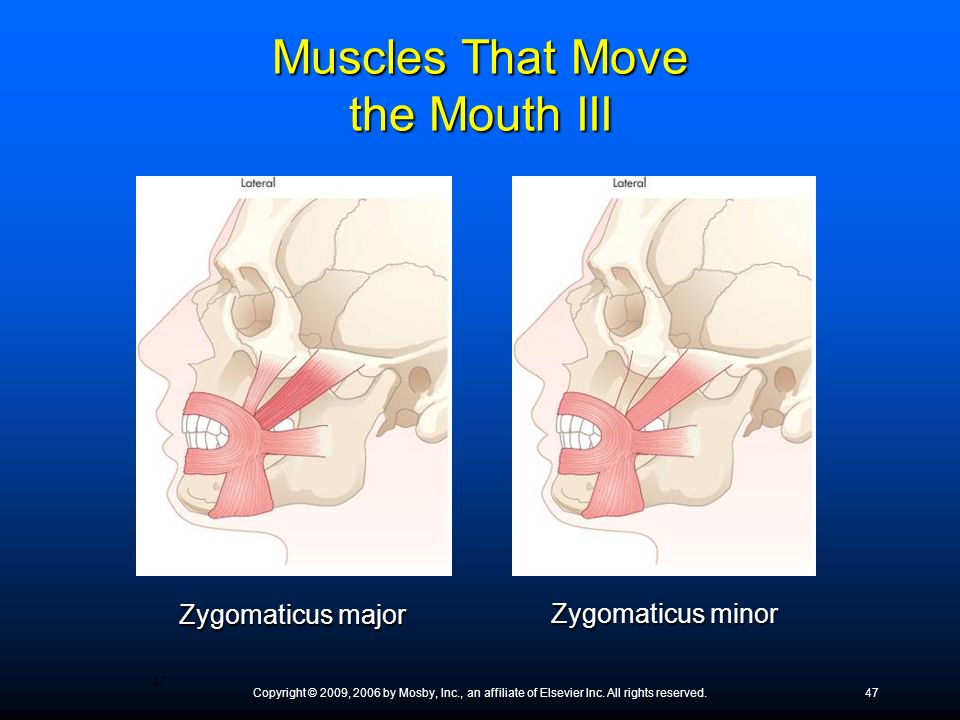 Copyright © 2009, 2006 by Mosby, Inc., an affiliate of Elsevier Inc. All rights reserved.47 Zygomaticus major Zygomaticus minor Muscles That Move the