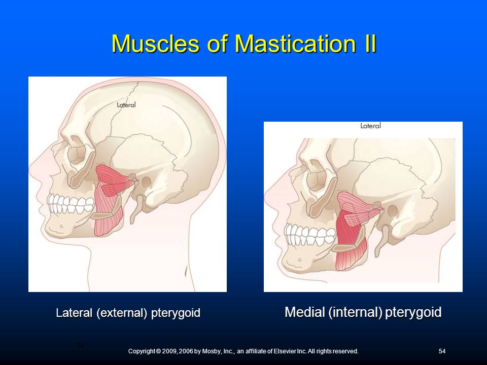 Copyright © 2009, 2006 by Mosby, Inc., an affiliate of Elsevier Inc. All rights reserved.54 Lateral (external) pterygoid Medial (internal) pterygoid M