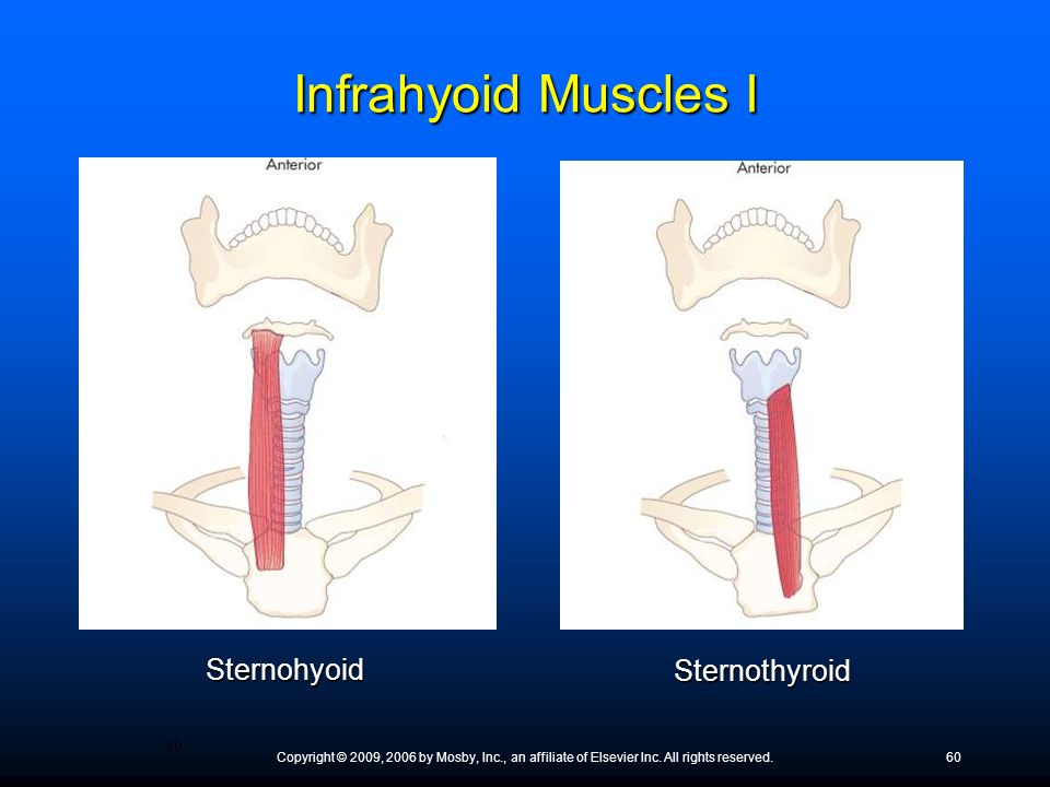 Copyright © 2009, 2006 by Mosby, Inc., an affiliate of Elsevier Inc. All rights reserved.60 Sternohyoid Sternothyroid Infrahyoid Muscles I