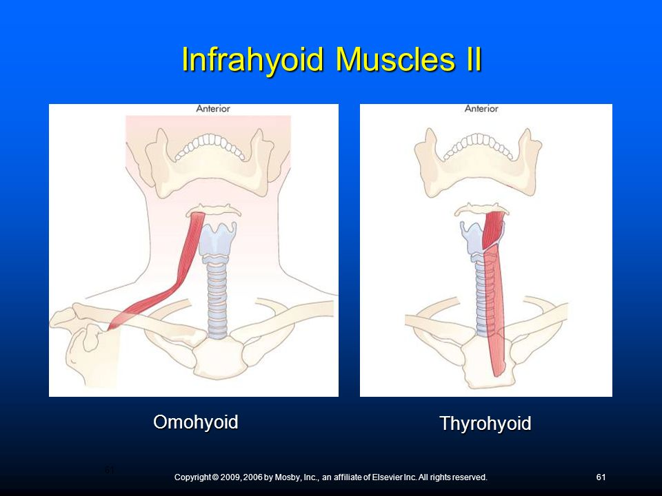 Copyright © 2009, 2006 by Mosby, Inc., an affiliate of Elsevier Inc. All rights reserved.61 Omohyoid Thyrohyoid Infrahyoid Muscles II