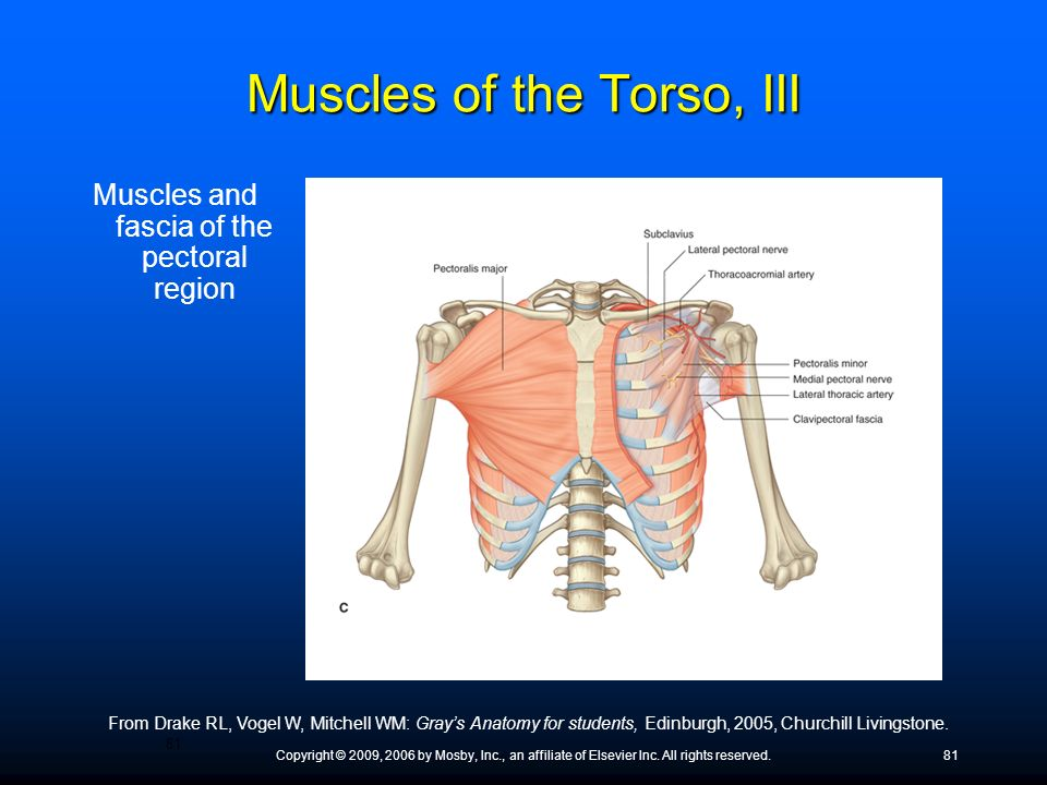 Copyright © 2009, 2006 by Mosby, Inc., an affiliate of Elsevier Inc. All rights reserved.81 Muscles and fascia of the pectoral region From Drake RL, V