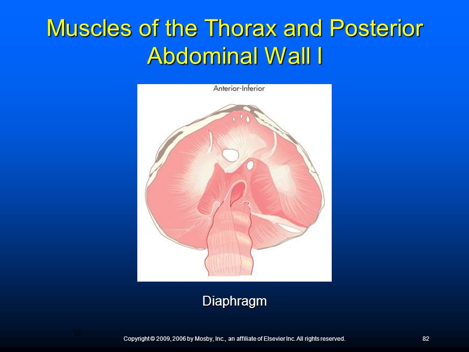 Copyright © 2009, 2006 by Mosby, Inc., an affiliate of Elsevier Inc. All rights reserved.82 Diaphragm Muscles of the Thorax and Posterior Abdominal Wa