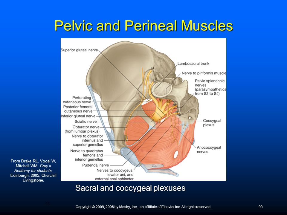 Copyright © 2009, 2006 by Mosby, Inc., an affiliate of Elsevier Inc. All rights reserved.93 Sacral and coccygeal plexuses 93 From Drake RL, Vogel W, M