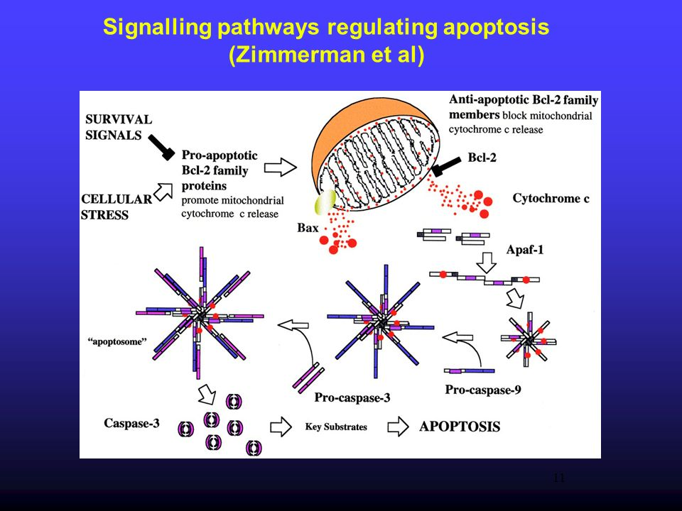 11 Signalling pathways regulating apoptosis (Zimmerman et al)