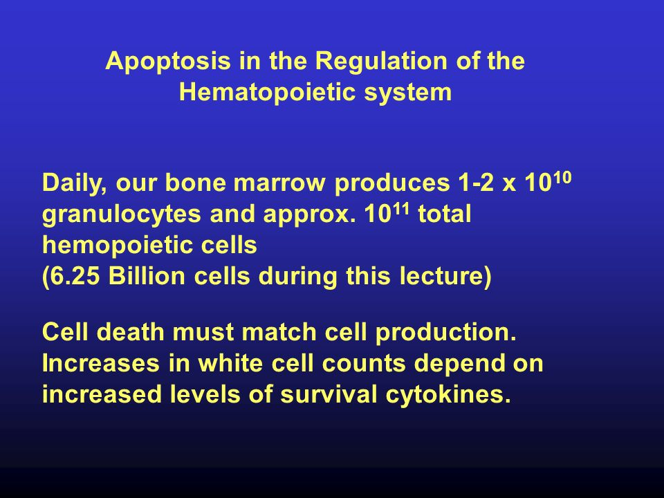 Apoptosis in the Regulation of the Hematopoietic system Daily, our bone marrow produces 1-2 x 10 10 granulocytes and approx. 10 11 total hemopoietic c