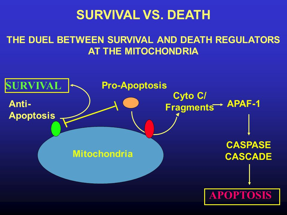Anti- Apoptosis Pro-Apoptosis Cyto C/ Fragments SURVIVAL VS. DEATH THE DUEL BETWEEN SURVIVAL AND DEATH REGULATORS AT THE MITOCHONDRIA APAF-1 CASPASE C