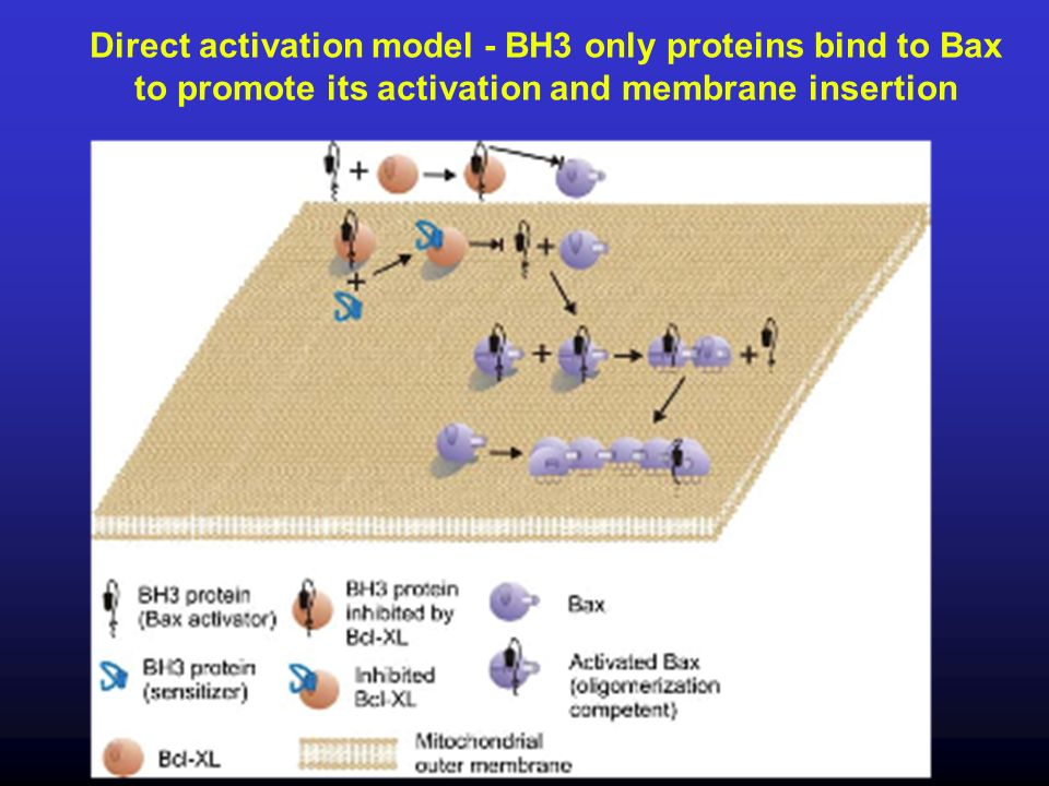 25 Direct activation model - BH3 only proteins bind to Bax to promote its activation and membrane insertion