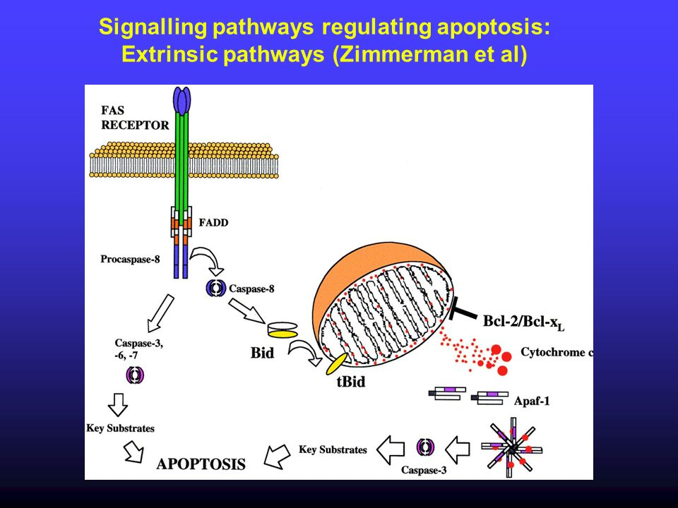 30 Signalling pathways regulating apoptosis: Extrinsic pathways (Zimmerman et al)
