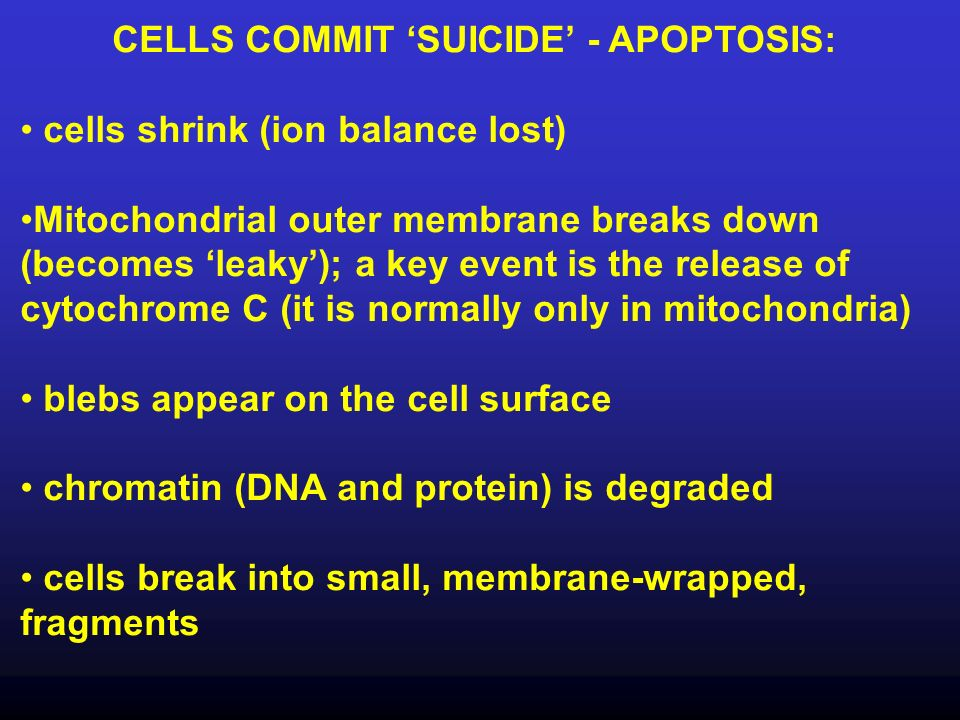 CELLS COMMIT SUICIDE - APOPTOSIS: cells shrink (ion balance lost) Mitochondrial outer membrane breaks down (becomes leaky); a key event is the release