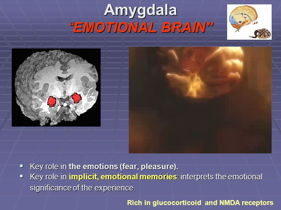 AmygdalaEMOTIONAL BRAIN Key role in the emotions (fear, pleasure).
