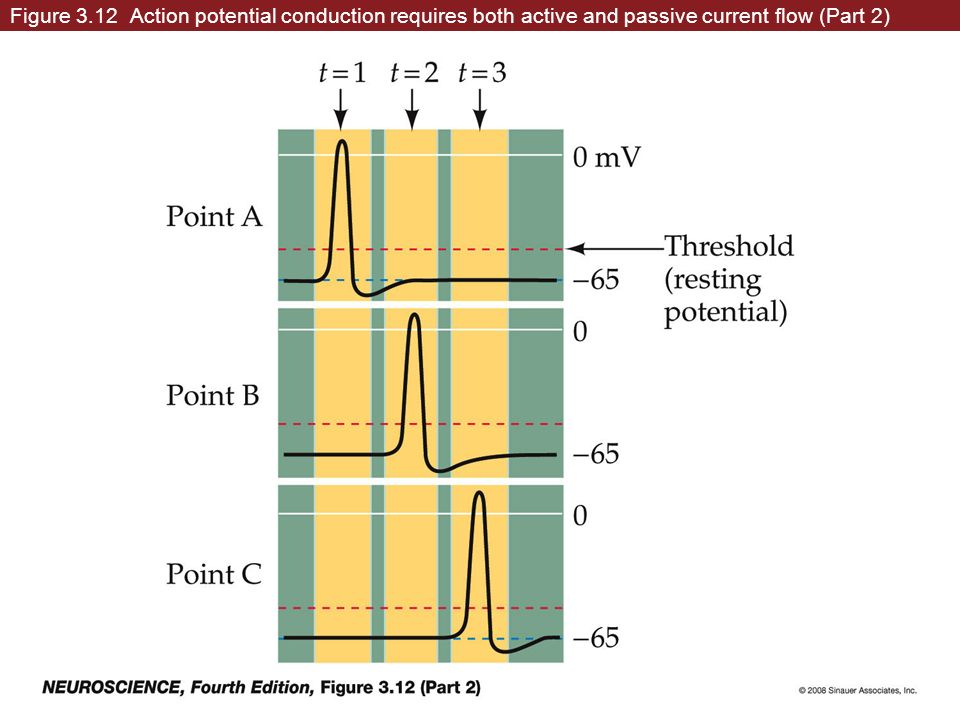 Figure 3.12 Action potential conduction requires both active and passive current flow (Part 2)