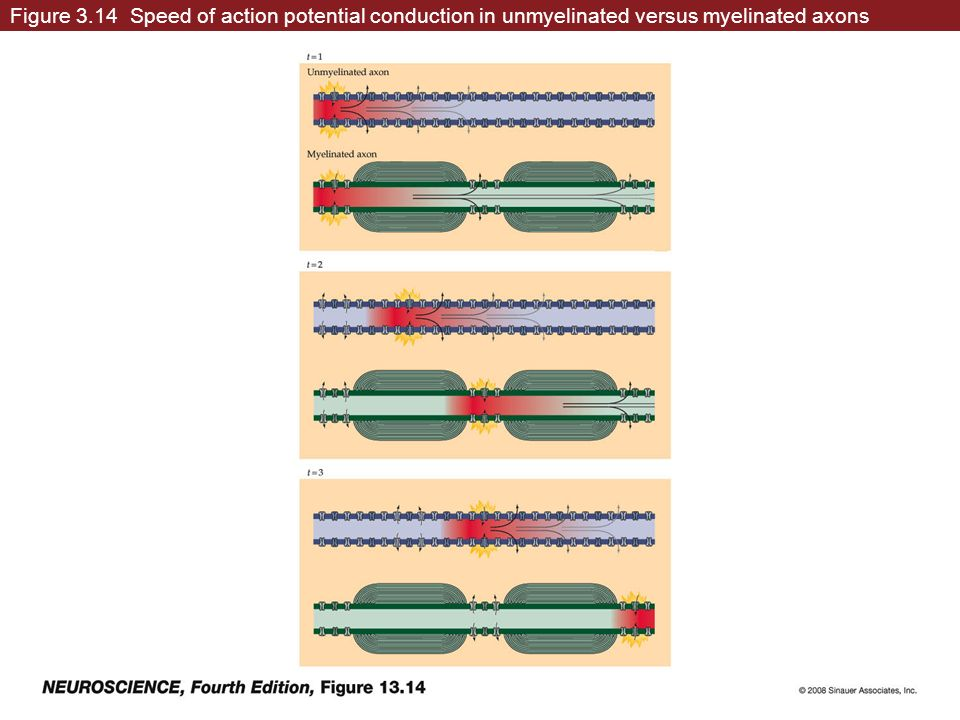 Figure 3.14 Speed of action potential conduction in unmyelinated versus myelinated axons