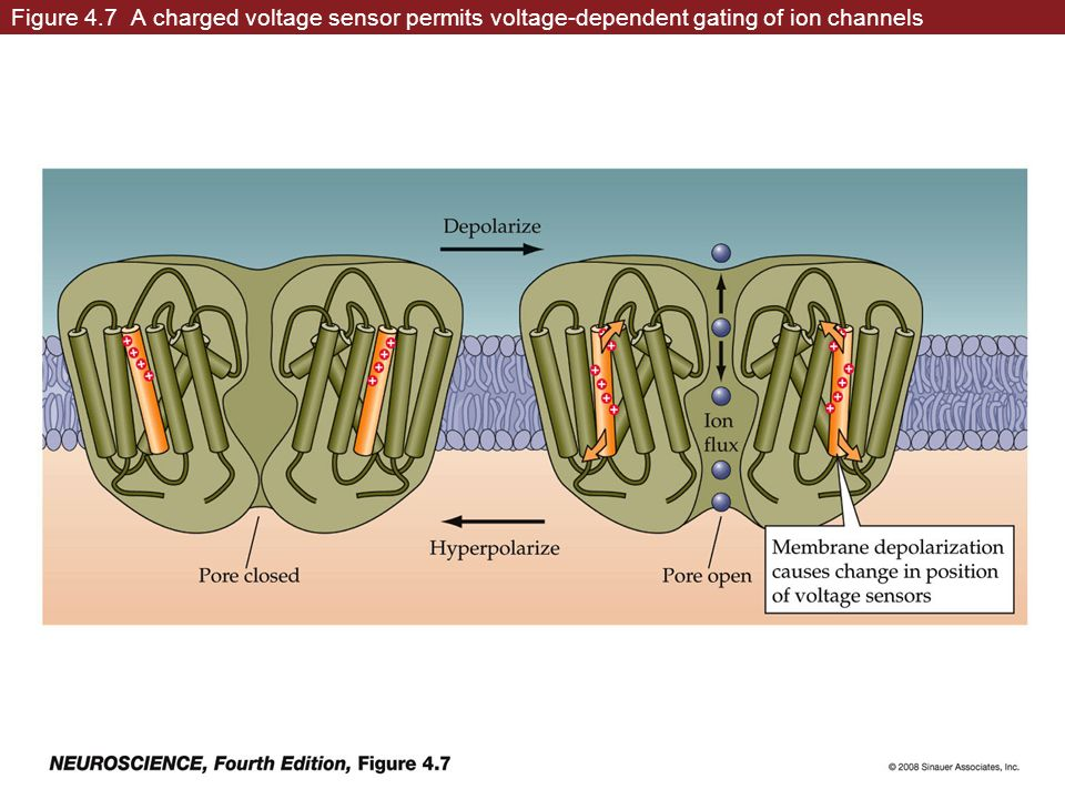 Figure 4.7 A charged voltage sensor permits voltage-dependent gating of ion channels