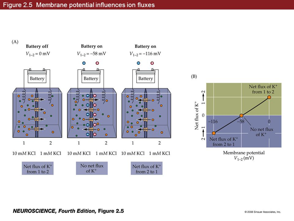 Figure 2.5 Membrane potential influences ion fluxes