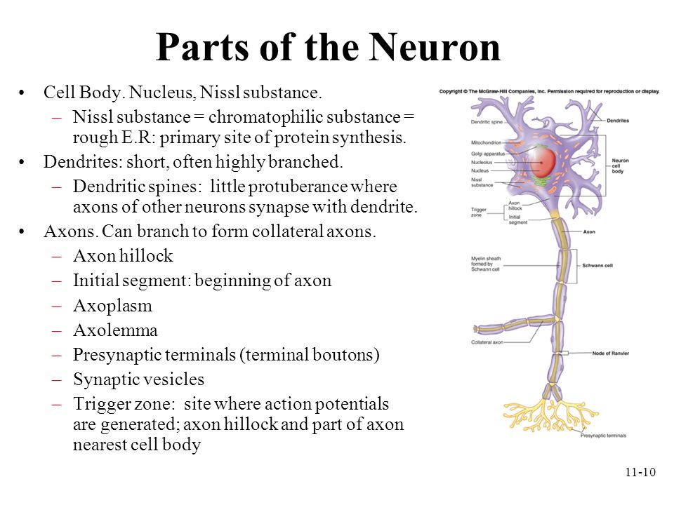 11-10 Parts of the Neuron Cell Body. Nucleus, Nissl substance. –Nissl substance = chromatophilic substance = rough E.R: primary site of protein synthe